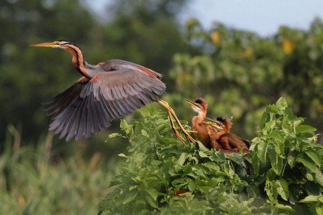 Руді чаплі вигодовують пташенят, отригівая їжу в гніздо.