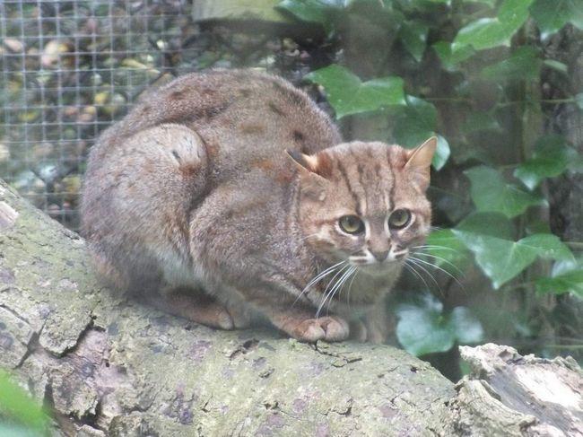 Іржава кішка (Prionailurus rubiginosus).