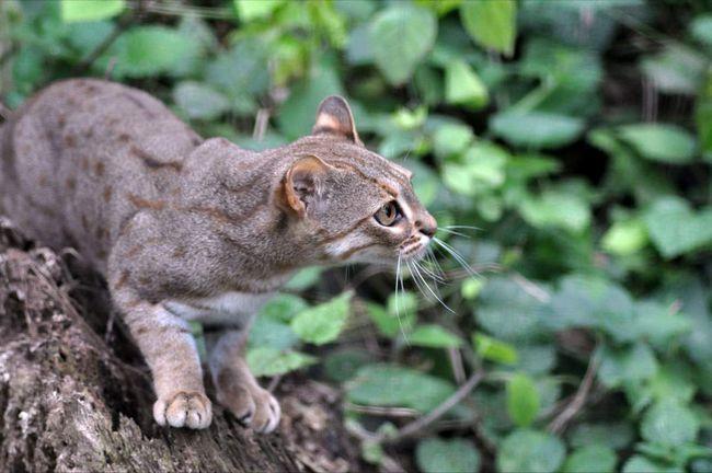 У іржавої кішки народжується не більше трьох кошенят.