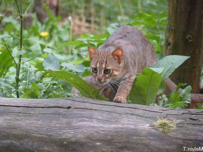 Іржава кішка на полюванні.