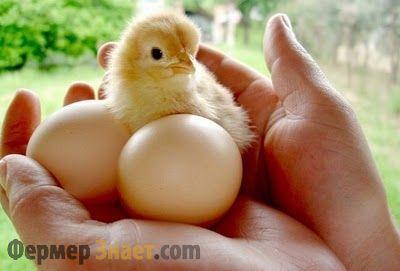 Курчата і яйця