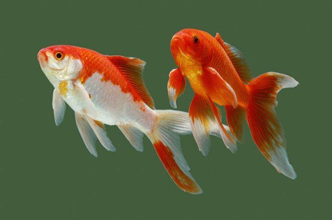 Сумісність золотих рибок.