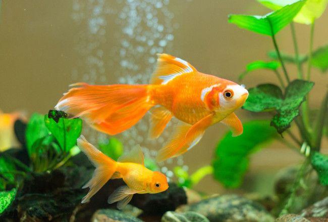 Золоті рибки в акваріумі.