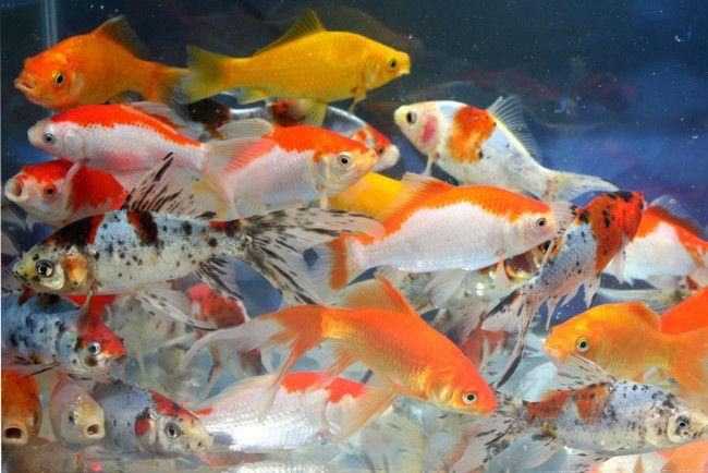 Золоті рибки в акваріумі з іншими рибами.