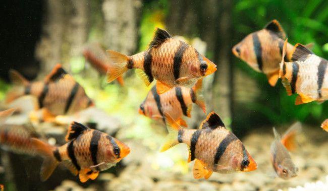Смугасті золоті рибки.