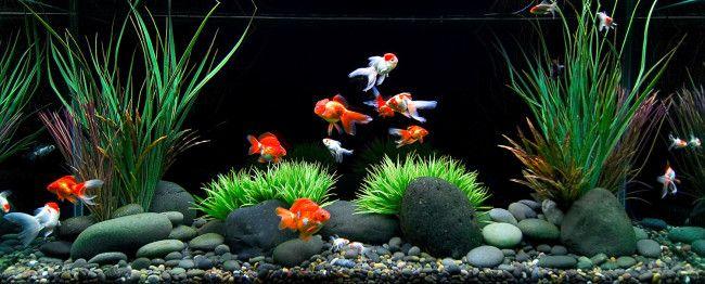 Сумісність золотих рибкок з іншими видами.