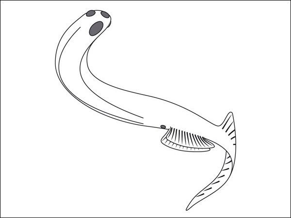 Euphanerops, реконструкція