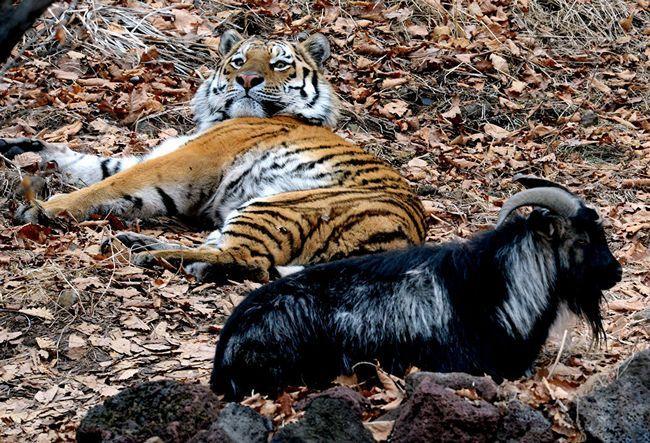 Сафарі-парк, в якому живуть Тимур і Амур став одним з кращих в світі.