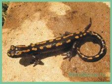 Саламандракавказская / mertensielea caucasica