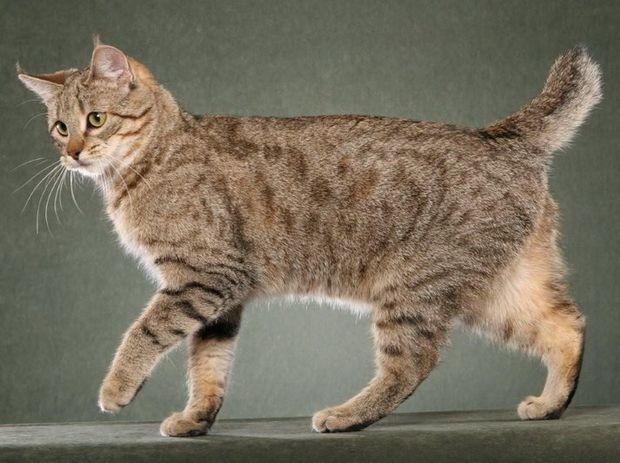 Найбільша порода кішок в світі