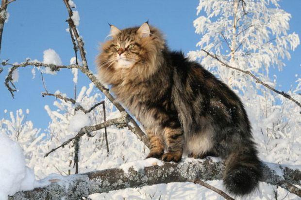 На фото: сибірський кіт