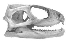 Найдавніша рептилія - це триокого ящірка гаттерия, або туатара (sphenodon punctatus)