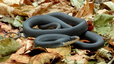 отруйні змії. чорна мамба фото