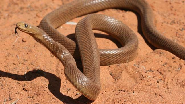 отруйні змії. тайпан фото