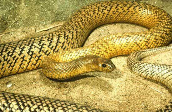 отруйні змії. жорстока змія фото