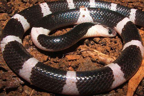 отруйні змії. малайський край фото
