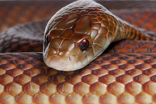 отруйні змії. мулга фото