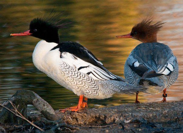 Самка і самець качки Крохаль
