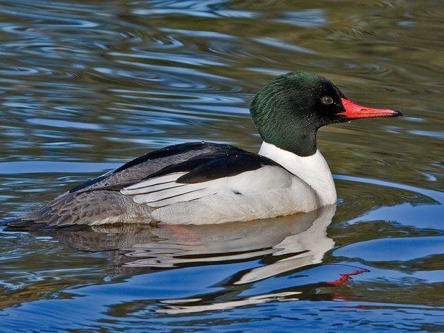 Самець качки Крохаль в воді