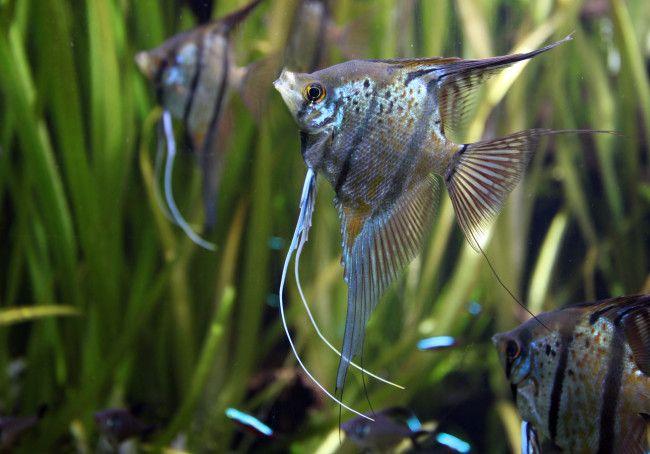 Скалярия звичайна в акваріумі.