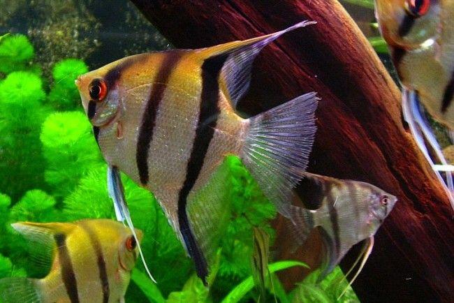 Скалярия звичайна в домашньому акваріумі.