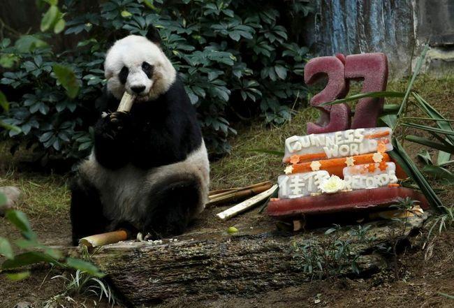 Найстаріша панда святкує своє 37-річчя.