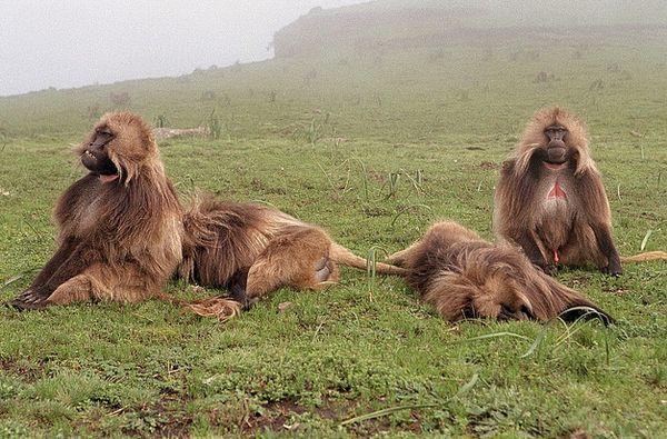 Самці мавп змушують самок до абортів