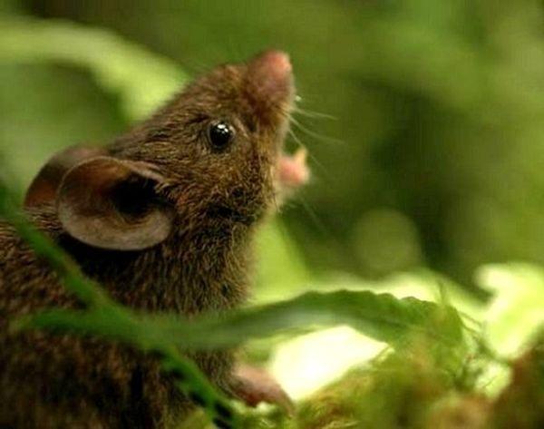Самці співаючих мишей відлякують своїми піснями непрошених гостей