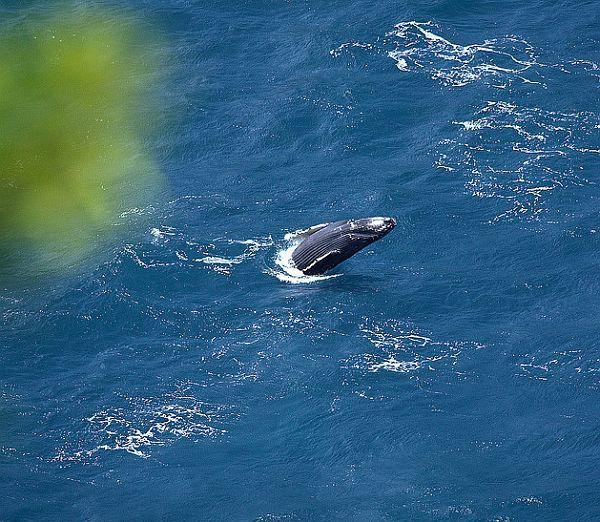 Дитинча горбатого кита пустує у Гавайських островів. (Фото William Dalton.)