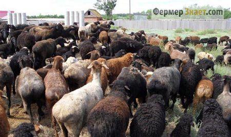 Вівці Едільбаєвськая породи