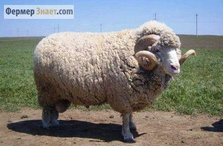 Вівці породи меринос - вовняні королі