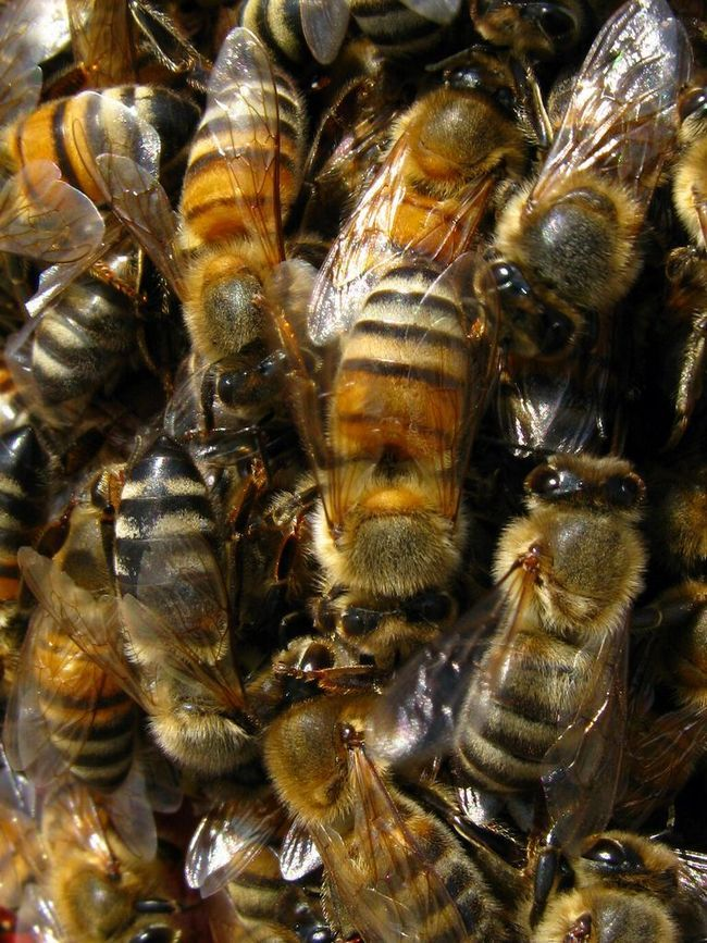 Африканська бджола