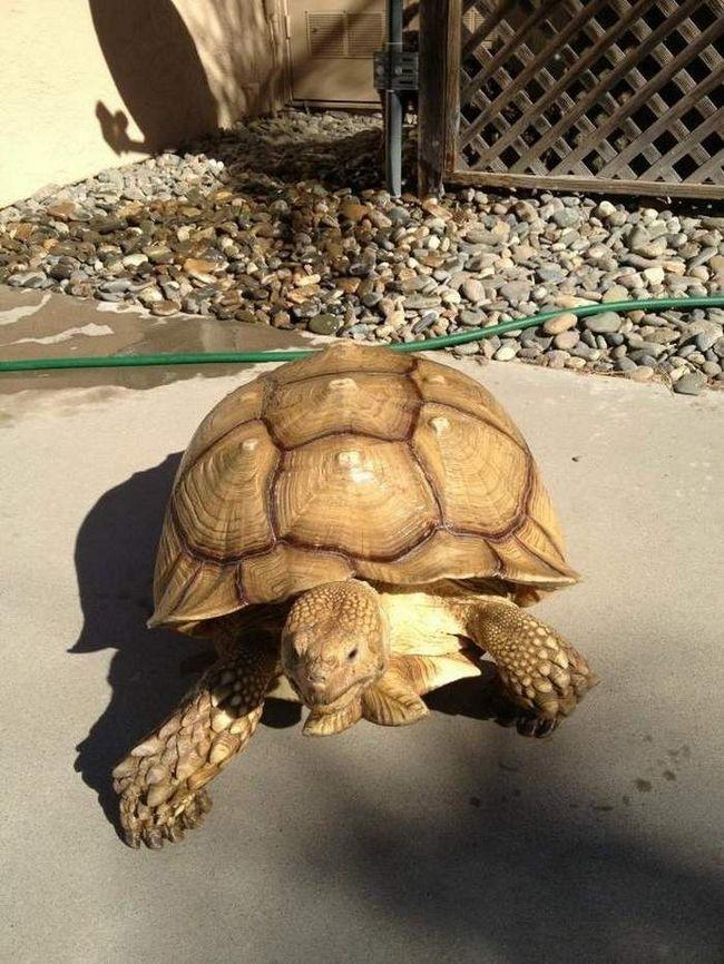 Черепаха Семмі.