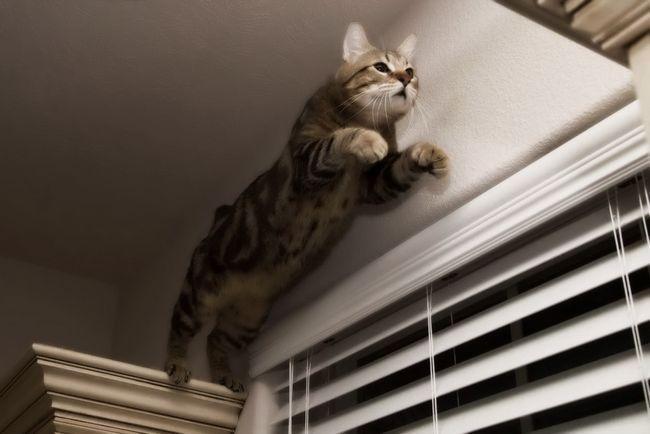 Найбільші кішки