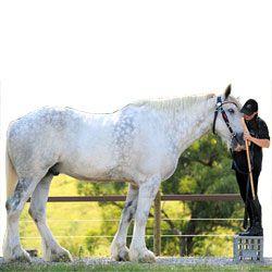Найбільші коні в світі: рекордсмени зростання