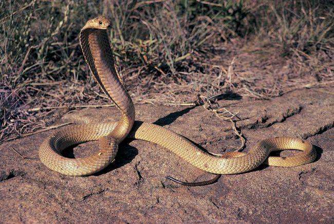 Страшно велика і жахливо отруйна королівська кобра.