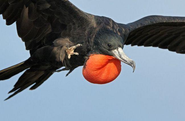 птах фрегат