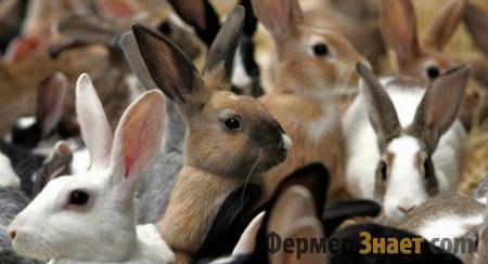 Різноманітність порід кроликів