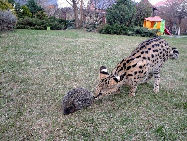 Дорослі домашні Сервали (domestic Serval)