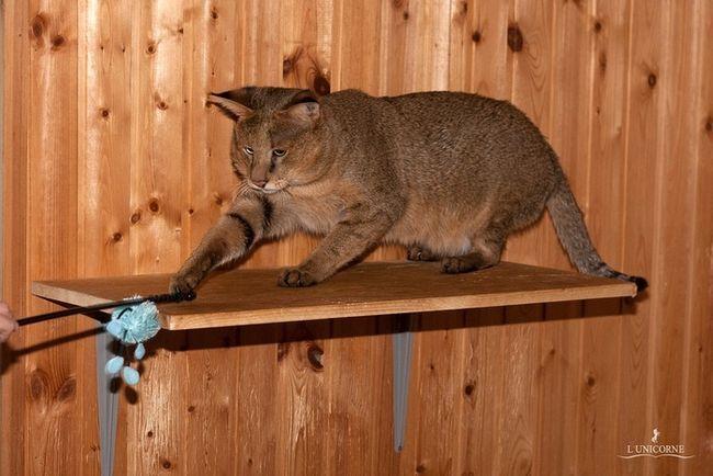 Дорослі кішки Чаузі F1 (Chausie F1)