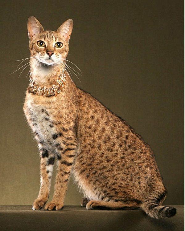 Саванна - найдорожча порода кішок в світі. фото