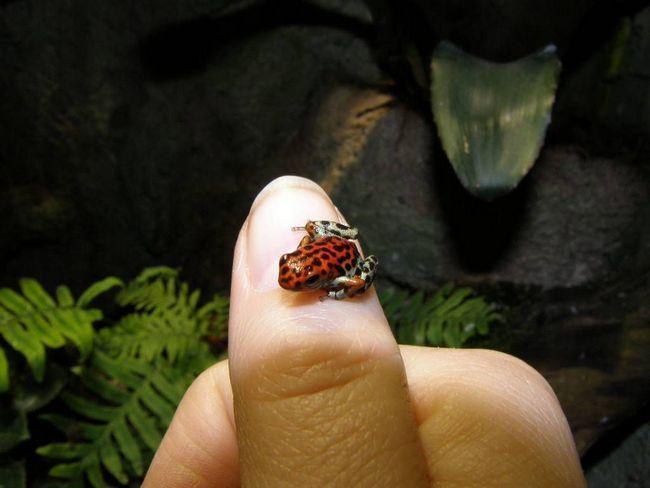 Маленький древолаз (лат. Oophaga_pumilio)