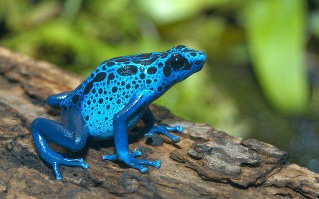 Блакитний древолаз (лат. Dendrobates_azureus)
