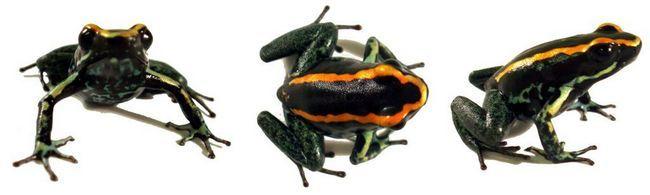 Смугастий листолазів (лат. Phyllobates-vittatus)