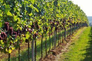 Найкращі поради по посадці винограду восени і навесні