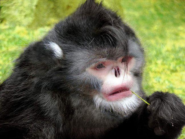 Рінопітеков Страйкера (вона ж - Бірманська кирпата мавпа).