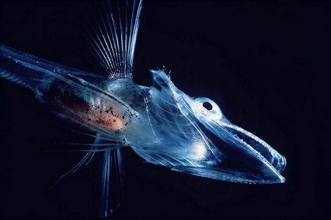 Крижана риба.