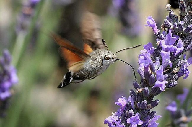 Метелик-колібрі.
