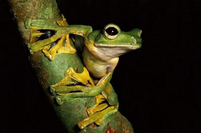 Деревна жаба, що літає.