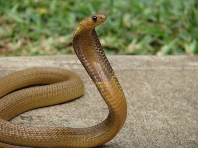 Капська кобра (Naja nivea).